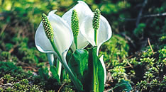 氷河期末期から咲き続ける花