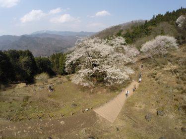 「仙桜」とは